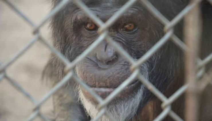 Image of the face of a chimpanzee set behind a chain link fence.