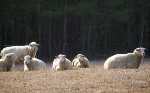 Image of six Gulf Coast Native Sheep sitting and standing in a field.